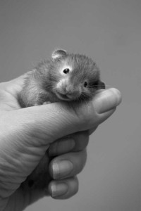 http://www.dreamstime.com/stock-images-small-hamster-4-rimagefree701140-resi3135722